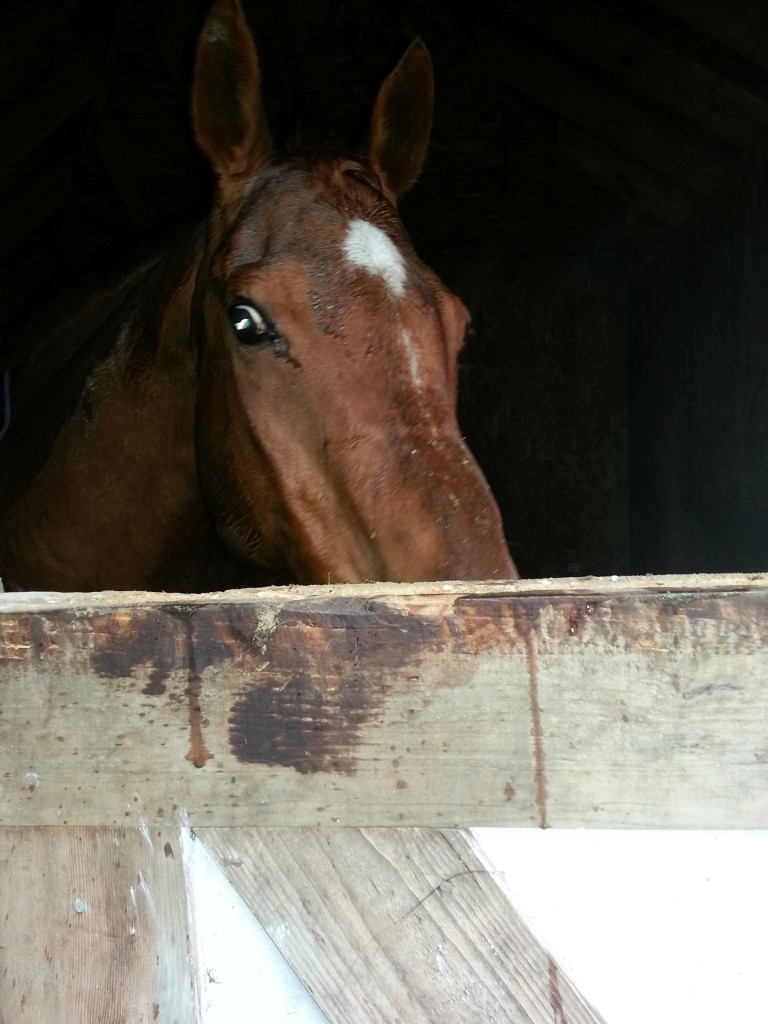 Red hiding in his stall in the rain